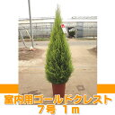ゴールドクレスト ウィルマ(室内用) 7号 約1m 【農家直送・送料無料】【クリスマスツリー】【ラッピング・メッセージカード不可】【代引不可】