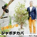 【5/4から21着不可】【送料無料】果実が美味しい「ジャボチカバ」10号(30センチ)大鉢植え これだけ大きく育った木の販売は珍しいんですよ!白いお花も幻想的です♪常緑樹