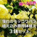 【送料無料】選べる花色!憧れのモッコウバラ 植え込み専用鉢植え 4.5号〜5号 【3鉢セット】フェンスに這わせたり、アーチにしたり、変幻自在のエントランスを作ろう!