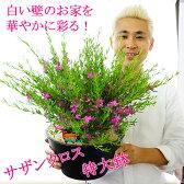 【送料無料】サザンクロス 9号 白い壁のお家に映える! 玄関用の大鉢仕立て 夏 鉢植え 多年草 花【同梱・ラッピング不可】