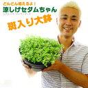 【送料無料】涼しげセダムちゃん(多肉植物)8号大鉢(直径24センチの鉢) 斑入り ズボラな人に向いてます!室内でも置けます。猛暑の戸外でも良く育つ!【同梱・ラッ...