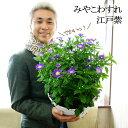 【送料無料】茶花としても大活躍!3年越しに完成!都忘れ 江戸紫 9号(直径27センチ)鉢の大ボリューム!