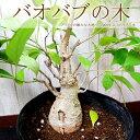 【数量限定】【全国送料無料】バオバブの木 アダンソニア ディキタータ 希少品種 2000年生きる!星の王子様に出てくるバオバブの木はこの品種です!【メッセージカード・ラッピング不可】