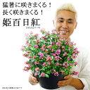 【送料無料】姫サルスベリ(百日紅)9号 猛暑に咲きまくる!長く咲きまくる! 暑さに強い 夏 鉢植え 毎年咲く 花【同梱・ラッピング不可】