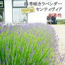 四季咲き イングリッシュ ラベンダー センティヴィア ラッピング・メッセージカード 植え込み