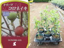 送料無料 オリーブ コロネイキ 6寸 5鉢セット オリーブの木 苗木 鉢植え【ラッピング・メッセージカード不可】【RCP】