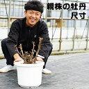 【送料無料】親株の牡丹と寒牡丹 尺寸(10号 30センチの鉢) 超大株 ボタン ぼたん アルハンブラ