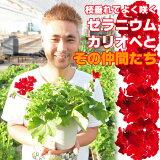よく咲くゼラニウム カリオペ 5号 1鉢 1000円ポッキリ!【】(一部地域除く)こんもりしながら枝垂れるスタイルで、ヨーロッパのバルコニーのハンギングが簡単に!