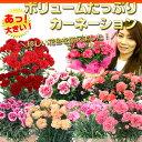 【P最大5倍】【楽天母の日特集に紹介されました!】母の日ギフト【送料無料】「ボリュームたっぷりカーネーション」珍しい花色ばかりを集めました!累計1万人以上のお母さんの笑顔に貢献したはコレ!鉢植えプレゼント2015花【楽ギフ_包装】【RCP】