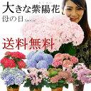 【遅れてごめんね】母の日ギフト 花 送料無料 感動の紫陽花(アジサイ) あじさい 鉢植え 5号 プレ