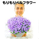 【送料無料】もりもりベルフラワー 9号大鉢(直径27センチの鉢) カンパニュラ 宿根草 この鉢のまま2〜3年楽しめます!自分で満開にして楽しんでもらえるように、2分咲きから5分咲き出荷!