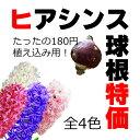【10月中旬頃納品予定】球根 ヒヤシンス(ヒアシンス) 1球180円 特価販売!全4色!販売価格は予告なく変更いたします。ご了承くださいませ。来春、素敵な香りを...