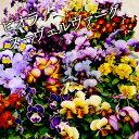 ビオラ ヌーヴェルヴァーグMIX 6苗セット 送料無料 アンティークな花色の超絶レアな品種です!(ヌーベルバーグ)