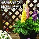 【送料無料】仙波さんのルピナス 5号5鉢セット(5色)選抜を繰り返してたどり着いた品質の向こう側!