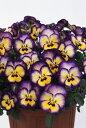 パンジー よく咲くスミレ ブルーベリーパイ 3.5寸 24苗セット 産地より出来立てをあなたのお庭に直送!ピンピンしてます!鮮度抜群の逸品たち!【10月上旬より仕上がり次第出荷】