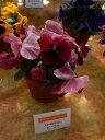 パンジー デザイナーズコレクション ストロベリービーコン 3.5寸 24苗セット 産地より出来立てをあなたのお庭に直送!ピンピンしてます!鮮度抜群の逸品たち!【10月上旬より仕上がり次第出荷】