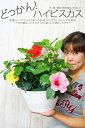 送料無料 ハイビスカス 鉢植え 花 ギフト 母の日