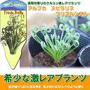 アルブカ スピラリス フリズルシズル 2鉢セット albuca spiralis 'Frizzle Sizzle'【ラッピング・メッセージカード不可】【RCP】
