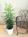 シルクジャスミン 8号 H100-120cm 送料無料 ジャスミン インテリア 新築祝い 引っ越し祝い 観葉植物 鉢植え 贈り物 鉢植え ゲッキツ 月橘 オレンジジャスミン イヌツゲ