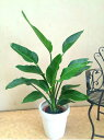 ストレリチアオーガスタ8号鉢 H100-130cm 観葉植物 インテリア 送料無料 大型