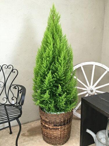 カゴ付 大型 観葉植物 送料無料 ゴールドクレスト 10号鉢 H150-170cm コニファー 庭木 植木 クリスマス クリスマスツリー