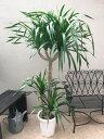 ドラセナドラコ 10号 H160-180cm 現品 竜血樹 観葉植物 送料無料 大型 希少 珍品 長寿の木 インテリア 新築祝い 開店祝い 開業祝い 引っ越し祝い ギフト
