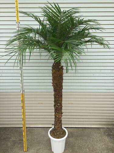 超極太 フェニックスロベレニー10号鉢 H200-220cm  送料無料 観葉植物 ヤシ 大型 インテリア