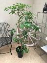 グァバの木 8号 H140cm程 現品 送料無料 ギフト 新築祝い 開店祝い 誕生日 インテリア 観葉植物 大型 果樹 引越し祝い ギフト 贈呈品