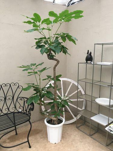 ブラッサイヤ10号鉢 2本立 H180cm程 現品A-1 送料無料 観葉植物 大型 ツピタンサス ツビタンサス 新築祝い 開店祝い 開業祝い 引っ越し祝い ギフト 退職祝い