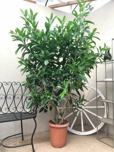 ハワイアン ファグラエアベルテロアナ 10号鉢 H170cm程 観葉植物 インテリア レイフラワー 新築祝い 開店祝い 大型