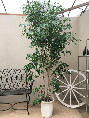 自然樹形 ベンジャミン 10号鉢 H230cm程 現品 送料無料 ナチュラル仕立て 大型 観葉植物 インテリア お祝い