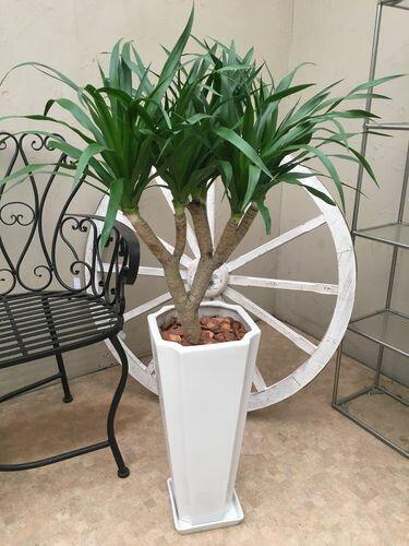 ドラセナ カンボジアーナ 105cm 現品C カンボジアナ 観葉植物 送料無料 育て方説明書付 記念品 新築祝い 開店祝い 引越祝い インテリア 大型