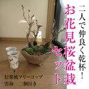 【桜盆栽】 桜の盛り合わせ 信楽焼フリーカップ雲海 2個付き 【送料無料】【さくら盆栽】タンブラー ビアカップ 湯のみ