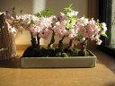 2021年4月頃開花【桜盆栽】お祝いに桜の方舟桜盆栽 豪華にラッキーの7 7本の桜盆栽 幸せを呼ぶ桜盆栽 鉢植毎年春に開花 自宅でお花見