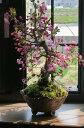 お花見を楽しむ盆栽鉢植え花誕生日プレゼント信楽焼鉢入り【ハナカイドウ】2021年4月頃に開花 自宅でお花見