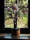 2021年4月中頃に開花楊貴妃桜盆栽 八重咲きの桜盆栽 ピンクのかわいいいサクラのお花見 が楽しめます  自宅でお花見 ミニ盆栽