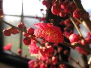 2019年2月頃開花梅盆栽  梅と桜の寄せ植え盆栽 香りと花の贈り物 梅盆栽 【盆栽】 信楽焼き入り 紅福梅盆栽  【鉢植】【年末年始のお祝い お歳暮に】