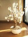 梅盆栽2020年新春 玄関を彩る梅の花 ミニ梅盆栽白梅を立派に咲かせるのが楽しみです 【鉢植】【年末年始のお祝い お歳暮に】梅 盆栽