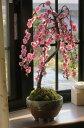 【八重しだれ梅盆栽】 しだれ梅 梅盆栽 盆栽: しだれ梅寄せ植え盆栽 八重しだれ梅 2017年3月中頃に 開花します。 ピンク色の 八重咲がかわいい 人気のしだれ梅 信楽焼鉢入り 【鉢植】