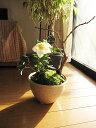 【幸せの白い花】 2016年【幸せギフト】 盆栽:桜と クリスマスローズの寄せ植え お届けは11月よりスタート 期間限定販売です 【鉢植】お母さんへの贈り物にも人気ですよ