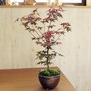 もみじ盆栽  贈り物に ミニ盆栽 モミジ盆栽で秋をを感じる かわいい信楽鉢入り  秋も春も楽しめる モミジ盆栽 鉢植