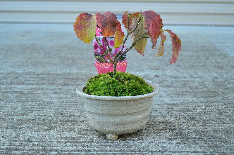 4月に開花ハナミズキハナミズキ鉢植え春は花が咲き秋は哀愁漂う紅葉と真っ赤な可愛い種がなり初夏には新緑