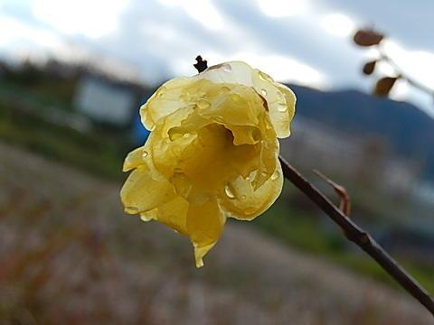 2019年1月頃開花新春満月ロウバイ 蝋細工のような光沢と甘い癒しの香り【満月ロウバイ】春をつれてきてくれます 贈り物に驚きと喜びを【信楽焼き鉢入り】