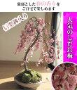 【梅盆栽】 しだれ梅 梅盆栽 盆栽: しだれ梅寄せ植え盆栽 八重しだれ梅 2017年に 開花します。 ピンク色の 八重咲がかわいい 人気のしだれ梅 信楽焼鉢入り 【鉢植】