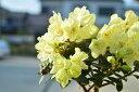 【ミニシャクナゲ】黄花 レン【純白の陶器鉢入】キレイな黄色の花を春に咲かせてくれます花木の王様 シャ