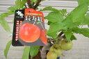 【長寿紅】 プラ鉢 可愛いリンゴ クラブアップル 誕生日やプレゼントのお祝い 観賞するリンゴ 庭植え