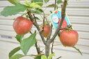 【アルプス乙女】 プラ鉢 可愛いリンゴ 誕生日やお祝い 花も実も楽しめるリンゴ りんご飴 焼きリンゴ 庭植え