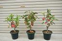 【りんご3種セット】 プラ鉢 可愛いりんご アルプス乙女 クラブアップルゴージャス 長寿紅 誕生日やプレゼントのお祝い 観賞 食用 庭植え