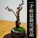 お部屋でお花見!3月後半に花を咲かせます。 一才桜盆栽完成品【季節限定】小さなかわいらしい桜の木です。