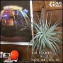 【エントリーでポイント10倍】エアープランツ Naturalwood 流木 吊るしたり、掛けたり 置いてみたり 観葉植物 インテリア プレゼントにも